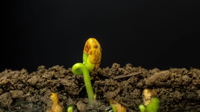 beans grows from the earth, time lapse video 4k resolution clip. one axis linear camera motion. - bean stock videos & royalty-free footage