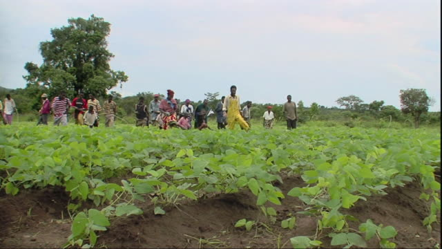 stockvideo's en b-roll-footage met cu ws tu beans in bowls in field, group of farmers approaching / mpika, zambia - dichterbij komen