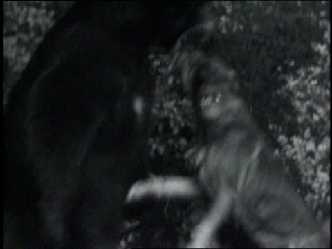 stockvideo's en b-roll-footage met 1935 montage bear and a dog play fighting / hollywood, california, united states - 1935