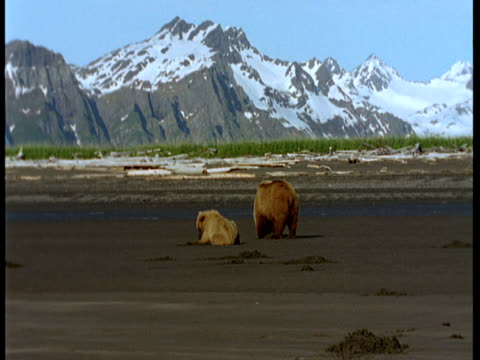 a bear and her cub hunt for prey in the mud after the tide has gone out. - tide out stock videos & royalty-free footage