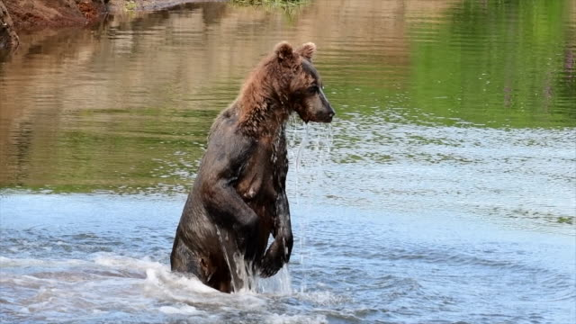bear und salmon - wildtier stock-videos und b-roll-filmmaterial
