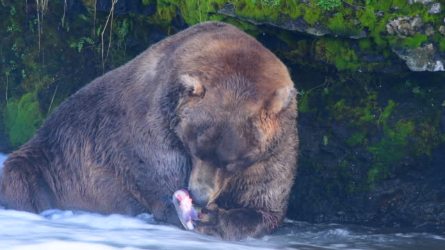 bear and salmon - brown stock videos & royalty-free footage