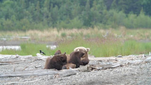 bear breast feeding cubs in alaska - bärenjunges stock-videos und b-roll-filmmaterial