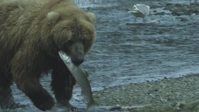 cu bear catches salmon then takes it to shore, mcneil river game range, alaska, 2011 - fang stock-videos und b-roll-filmmaterial