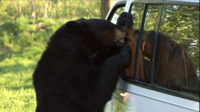 a bear chews at the window of a van. - bear stock videos & royalty-free footage