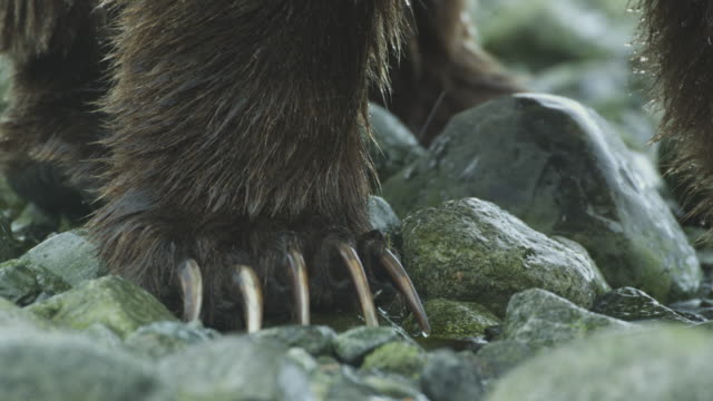 ecu bear claws, mcneil river game range, alaska, 2011 - klaue stock-videos und b-roll-filmmaterial