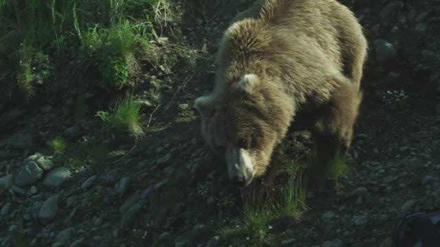 CU bear climbs down steep hill, McNeil River Game Range, Alaska, 2011