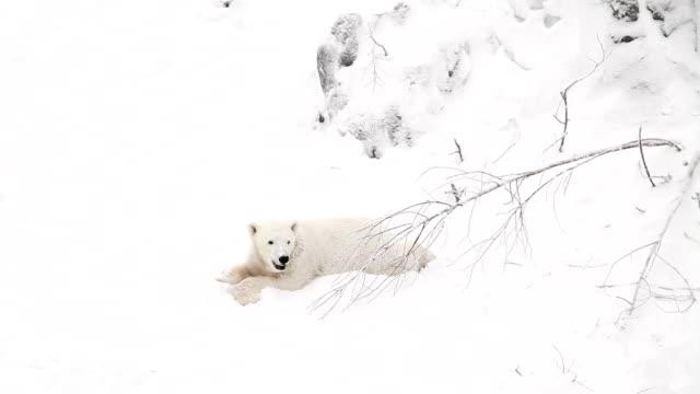 Bear cub in snow