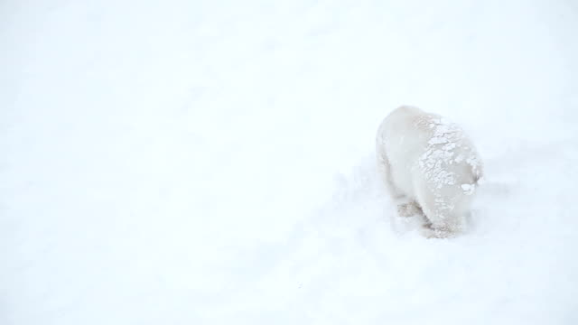 bear cub in snow - bear cub stock videos and b-roll footage