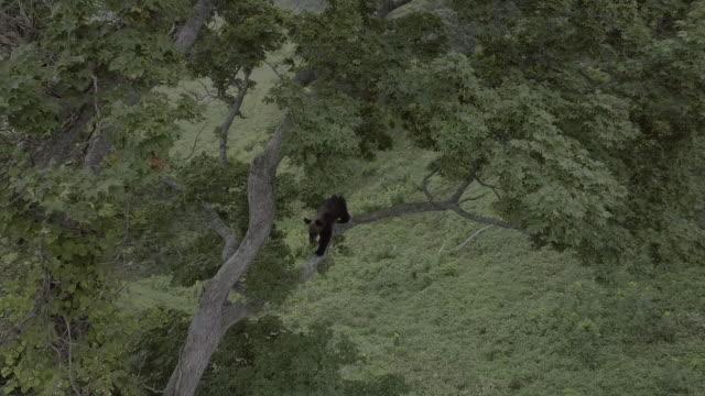 bear cub on top of a tree, shiretoko, japan - water's edge stock videos & royalty-free footage