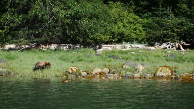 bear cub walking alongside water hunting for food. shot in 4k - raubtierjunges stock-videos und b-roll-filmmaterial