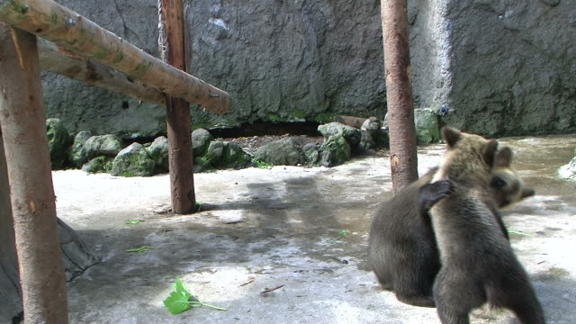 hd: bear cubs playing (video) - bear cub stock videos and b-roll footage