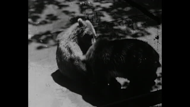 1936 - bear cubs playing/fighting - cleveland stock-videos und b-roll-filmmaterial