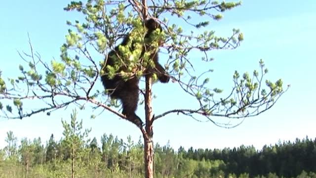 bear cubs - bear cub stock videos and b-roll footage