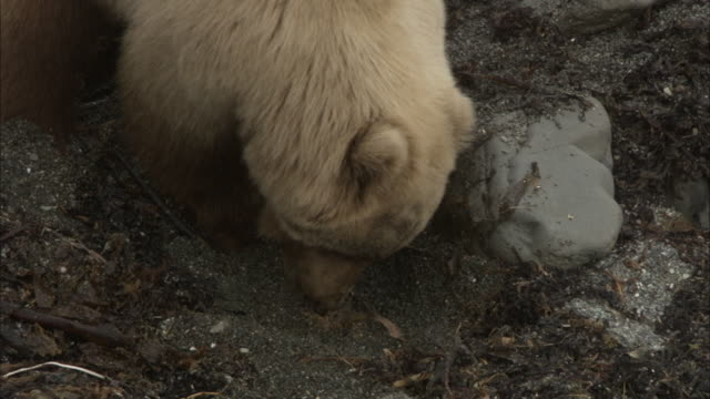 a bear digs in rocky soil while foraging. - foraging stock videos and b-roll footage