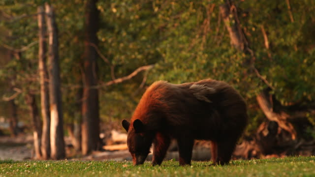 bear eating grass picks head up. - wiese点の映像素材/bロール