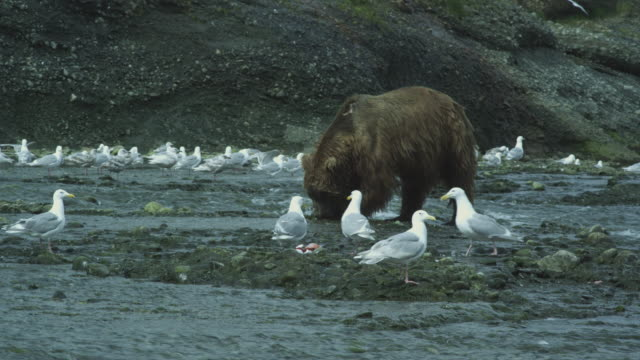 bear eats salmon surrounded by seagulls, mcneil river game range, alaska, 2011 - fang stock-videos und b-roll-filmmaterial