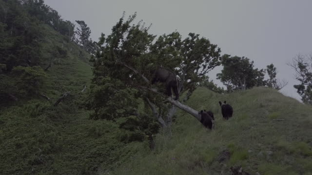 stockvideo's en b-roll-footage met bear family climbing up a tree and eating leaves, shiretoko, japan - dierenfamilie