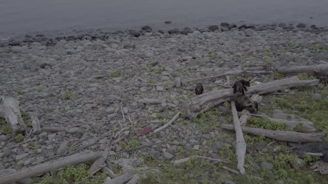 bear family on coastal rocks of shiretoko, japan - 枯れた植物点の映像素材/bロール