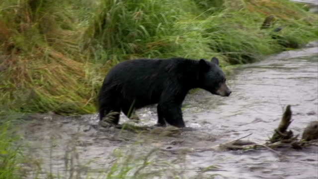 Bear Hunting Salmon High Definition HD Video