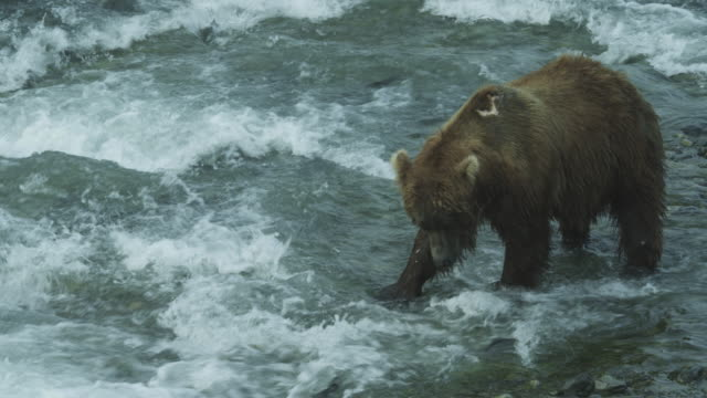bear in shallow water hunting for salmon, mcneil river game range, alaska, 2011 - salmon animal stock videos & royalty-free footage