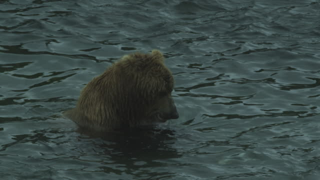 bear in water eats salmon from paws then leaves, mcneil river game range, alaska, 2011 - つかまえる点の映像素材/bロール