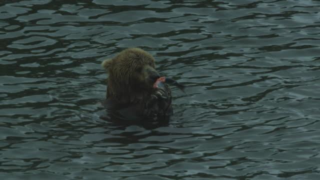 vídeos y material grabado en eventos de stock de bear in water eats salmon from paws then leaves, mcneil river game range, alaska, 2011 - oso pardo