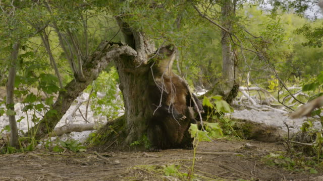 bear leaving marks on a tree, kamchatka russia - rubbing stock videos & royalty-free footage