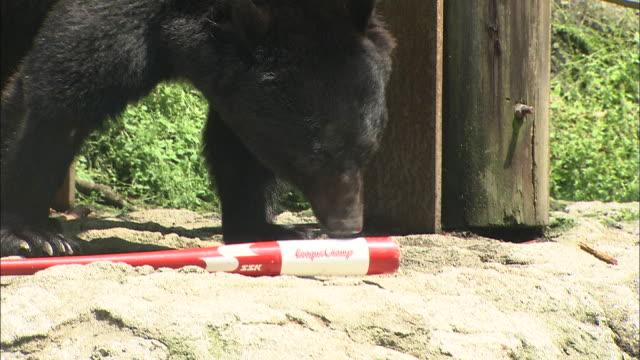 vídeos y material grabado en eventos de stock de a bear licks a rod. - forma de barra