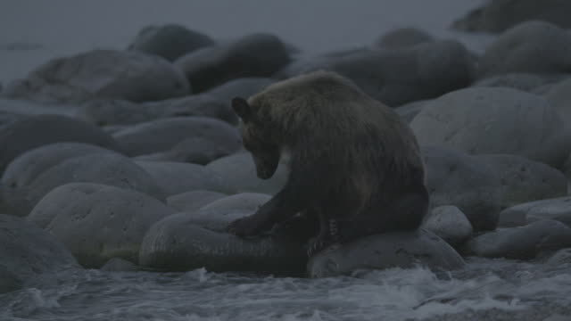 vídeos y material grabado en eventos de stock de bear lies down onto coastal rocks, shiretoko, japan - recostarse