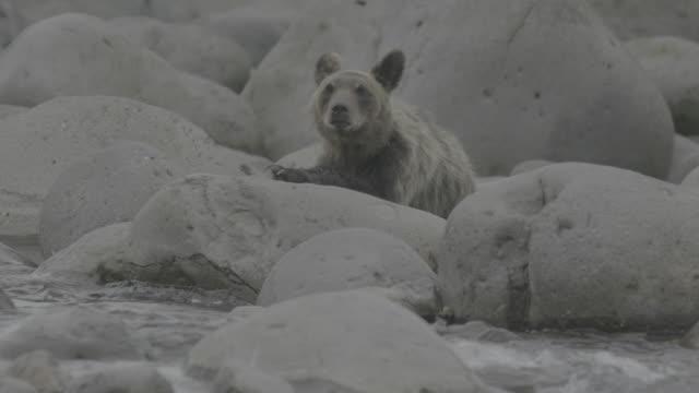 bear lying on front upon coastal rocks, shiretoko, japan - lying on front stock videos & royalty-free footage