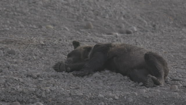 vídeos de stock, filmes e b-roll de bear lying on pebbles and falling asleep, shiretoko, japan - pata com garras