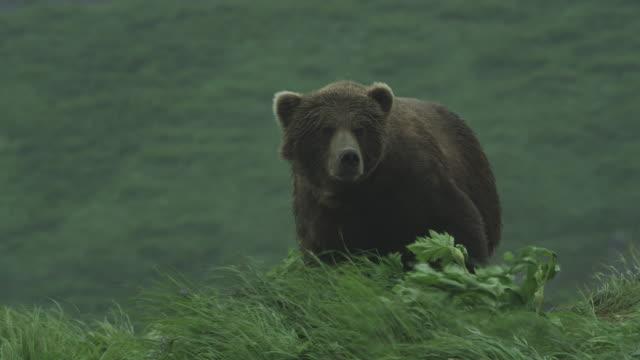 Bear on grassy hill in wind walks down, McNeil River Game Range, Alaska, 2011
