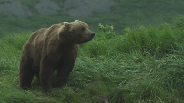 bear on grassy hill in wind walks down to beach, mcneil river game range, alaska, 2011 - aggression stock videos & royalty-free footage