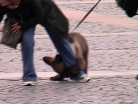 bear on leash, lead, leach in public square - ussr stock videos and b-roll footage
