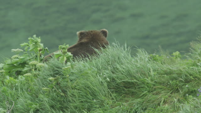 Bear on top of grassy hill in wind, McNeil River Game Range, Alaska, 2011