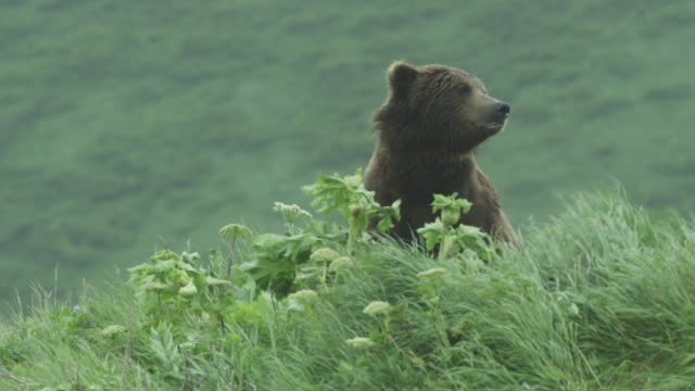Bear on top of grassy hill looks out, McNeil River Game Range, Alaska, 2011