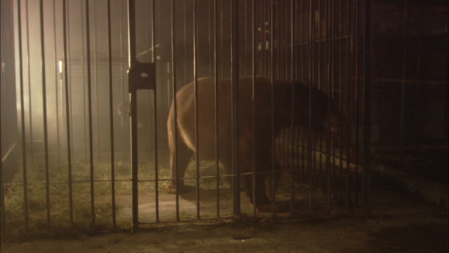 A bear paces behind the bars of a cage.