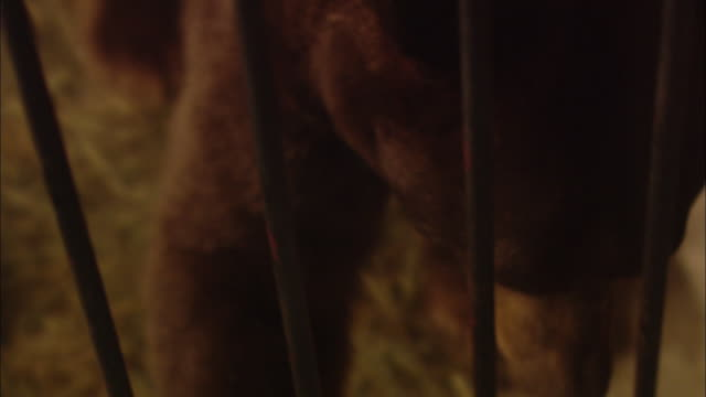 a bear paces in a cage, then stands up snarling and growling. - zoo stock videos & royalty-free footage