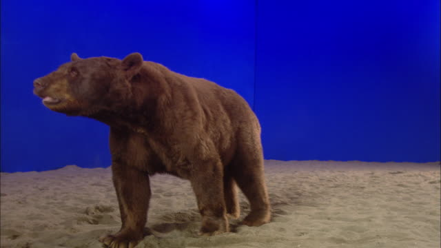 a bear paws at sand in front of a blue screen. - bear stock videos and b-roll footage