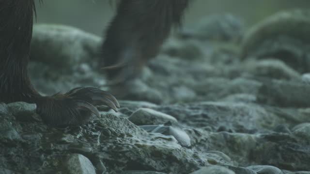 cu bear paws walking, mcneil river game range, alaska, 2011 - klaue stock-videos und b-roll-filmmaterial