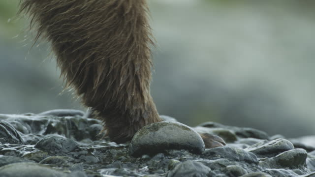 cu bear paws walking, mcneil river game range, alaska, 2011 - claw stock videos & royalty-free footage