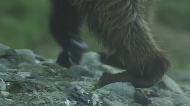 cu bear paws walking up hill, mcneil river game range, alaska, 2011 - claw stock videos & royalty-free footage