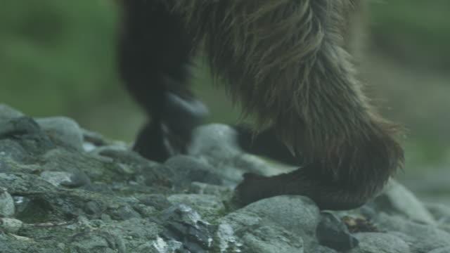 cu bear paws walking up hill, mcneil river game range, alaska, 2011 - klaue stock-videos und b-roll-filmmaterial