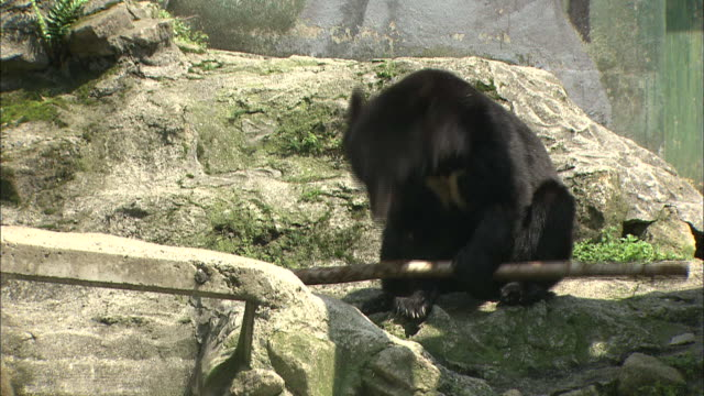 a bear plays with a large stick at a wildlife park. - 棒切れ点の映像素材/bロール