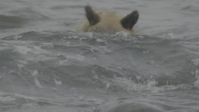 bear puts its head into water looking for fish, shiretoko, japan - tide stock videos & royalty-free footage
