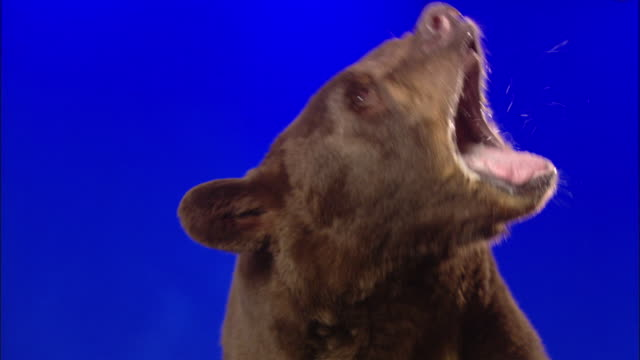 A bear repeatedly growls while standing in front of a blue screen.