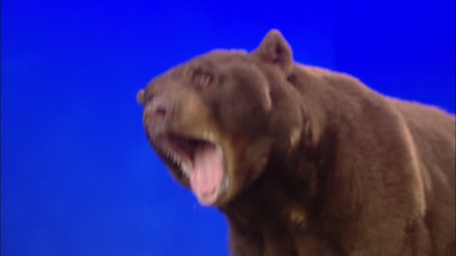 a bear roars and growls repeatedly against a blue screen. - bear stock videos and b-roll footage