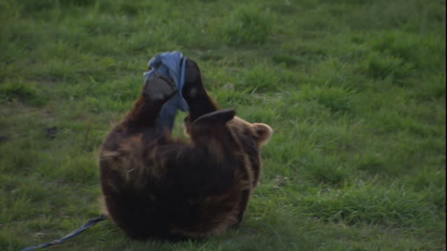 A bear rolls around on the grass and  plays with ripped up clothing.