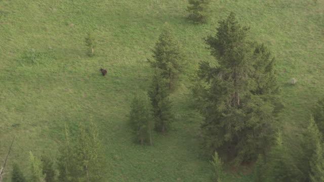 bear running uphill_02 - grizzlybär stock-videos und b-roll-filmmaterial